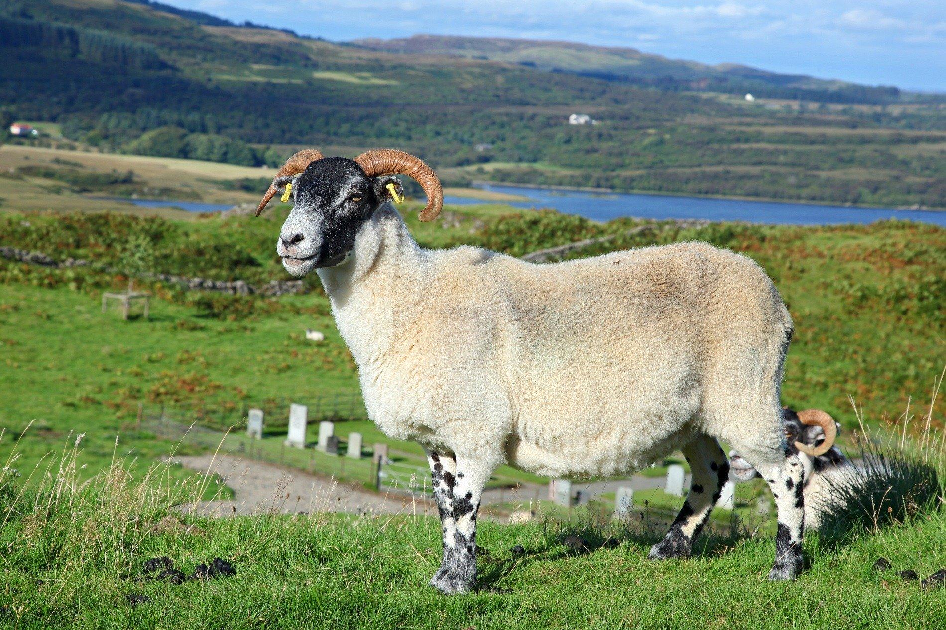 Scottish-Black-Sheep-1900